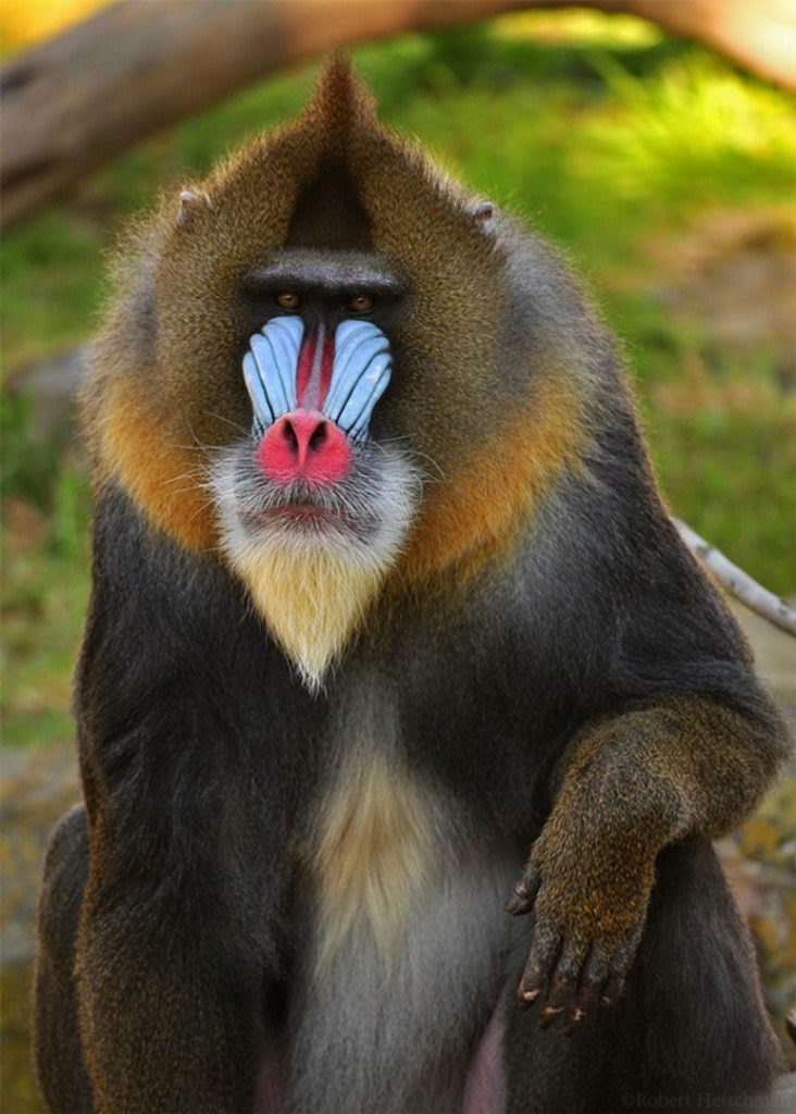 Photo of Mandrill