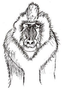 Line drawing of Mandrill to color