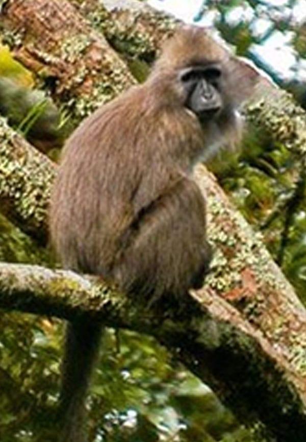 Kipunji Monkey sitting in tree