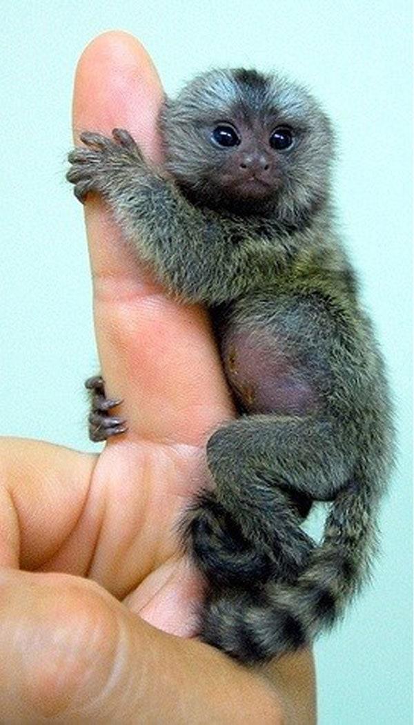 Pygmy Marmoset holding on to human finger