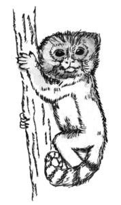 Pygmy Marmoset drawing
